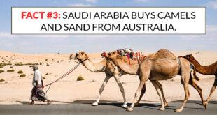Saudi Arabia, camels, sand, Australia, import, export, countries, facts