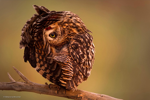 Mohammad Korshed Beautiful Bizarre Owl Photography