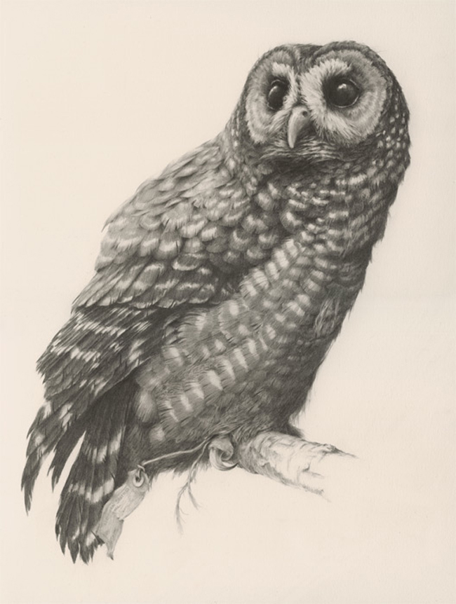 Northern Spotted Owl by Vanesa Foley - A part of Brink - an art exhibition at Antler Gallery for the benefit of The Audubon Society of Portland - preview and online article by Beautiful Bizarre Magazine