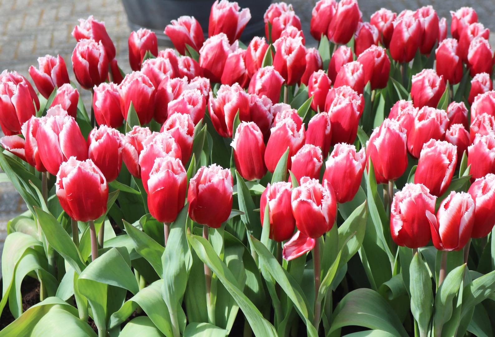 Easter at Keukenhof Tulip Festival