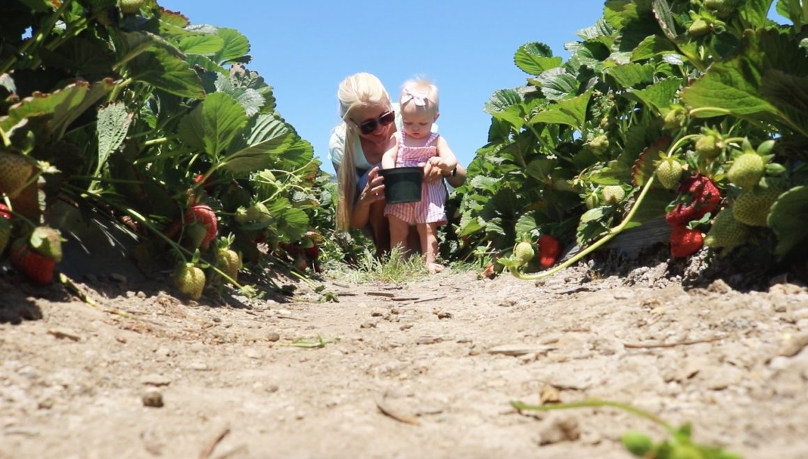 Strawberry picking at Gizdich!