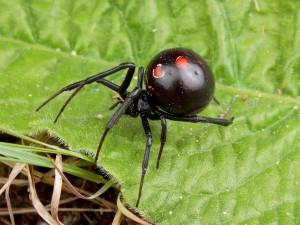 black-widow-spider_469_600x450