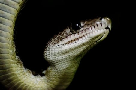 close up of snake with black background