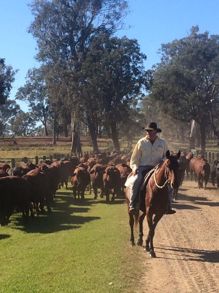 Brett Ellem moving cattle at Broadwater - Yulgilbr Pastoral Company