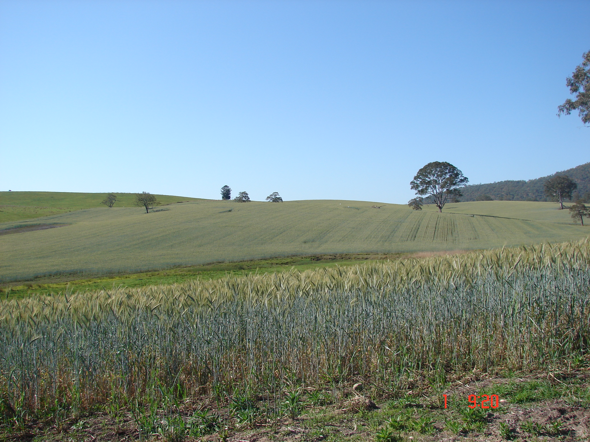 Triticale growing in Farm airstrip paddock - Yulgilbar Pastoral Company