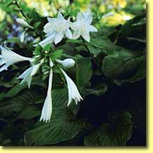 Picture: Hosta Plantaginea Aphrodite