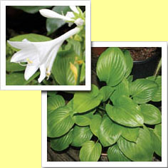 Picture: Hosta Plantaginea Doubled Up