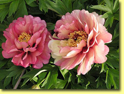 An Peony Intersectional Peony in bloom!