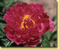 Peony Rose Tinkerbelle