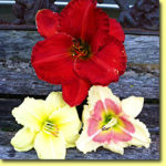 Picture: Daylilies: Desert Flame, Fragrant Returns, & When My Sweetheart Returns