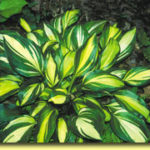 Picture: Hosta Rainbow's End