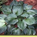 Picture: Hosta Second Wind
