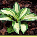 Picture: Hosta Snow Mouse