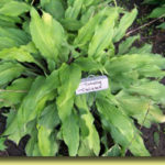 Picture: Hosta Totally Twisted