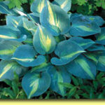 Picture: Hosta Touch of Class