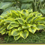 Picture: Hosta Tropical Storm
