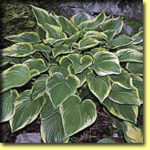 Picture: Hosta Victory