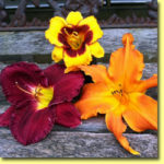 Picture: Daylilies: Now & Zen, Nosferatu, & Primal Scream