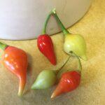 Pepper Biquino #2