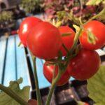 Picture Tomato Chibikko close up