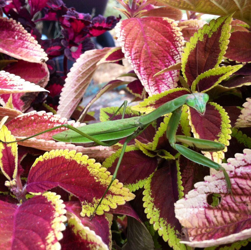 Coleus-and-praying-mantis