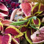 Coleus-and-praying-mantis
