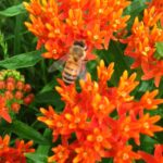 Hardworking Honeybee on Asclepias