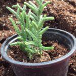 Succulent Crassula Lycopodiodes