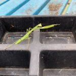 Praying Mantis pointing to awesome Heirloom Tomatoes!
