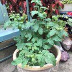 Tomato Chibikko in pot (my pic)