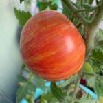 Tomato Dwarf Confetti on plant (my pic)