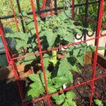 Tomato Dwarf San Marzano very sturdy plant