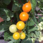 Tomato Jochalos (my pic)