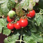 Tomato Vilma Microdwarf (my pic)