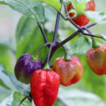Pepper Chaotic Jester (courtesy Heritage Seed Market)