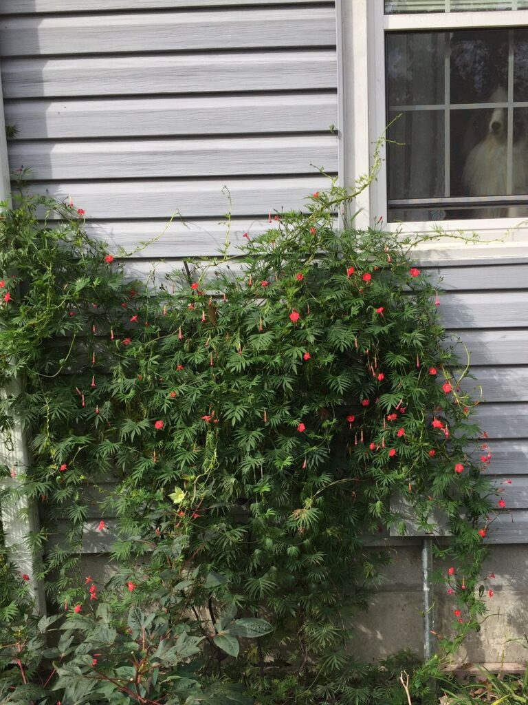 Cardinal vine in October (my pic)