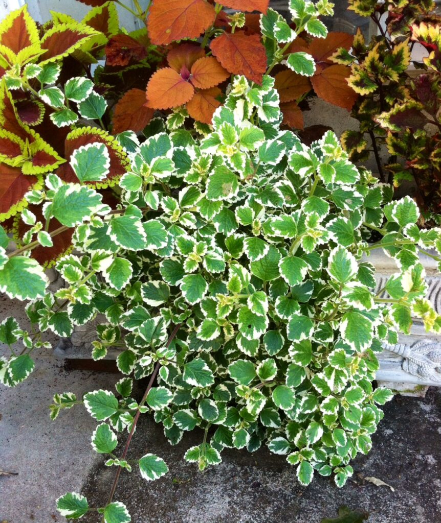 Plectranthus Candlestick Trailing (my pic)