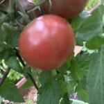 Dwarf Mary's Cherry (from customers Nancy & Jack)