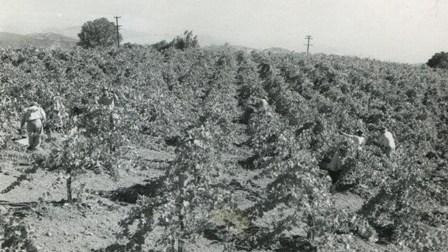 Young Pinot Vineyard 1950s