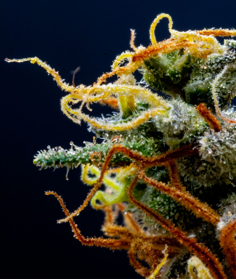 Drying Cannabis Plants