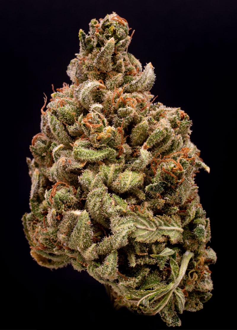Marijuana drying by GentleDry Technologies