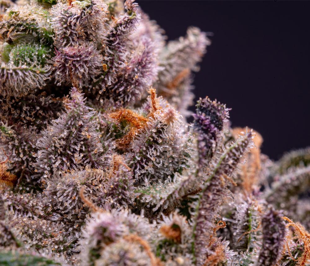 GentleDry Technologies onsite cannabis drying