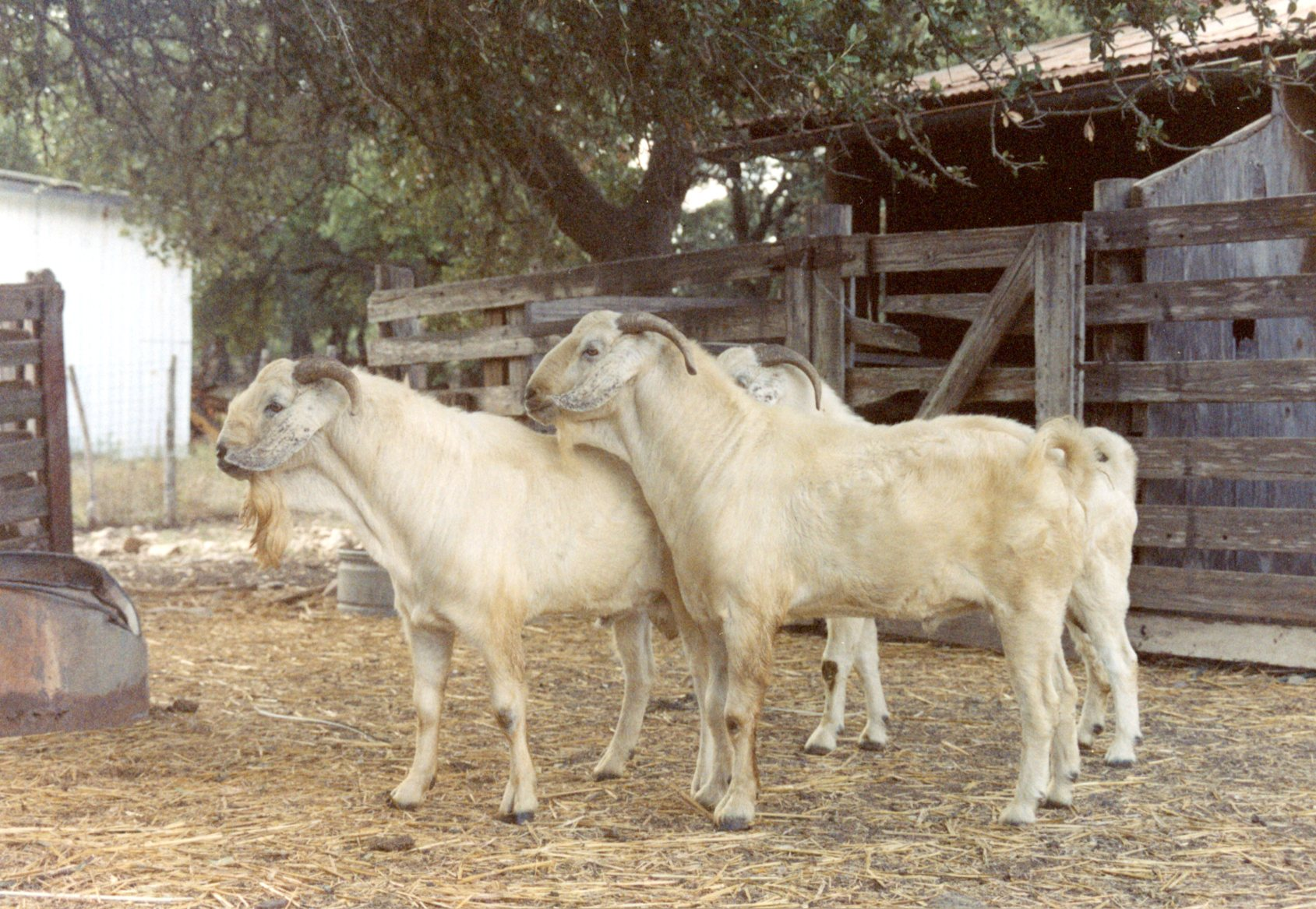 Help Wanted: Visionary Leadership for the Meat Goat Industry