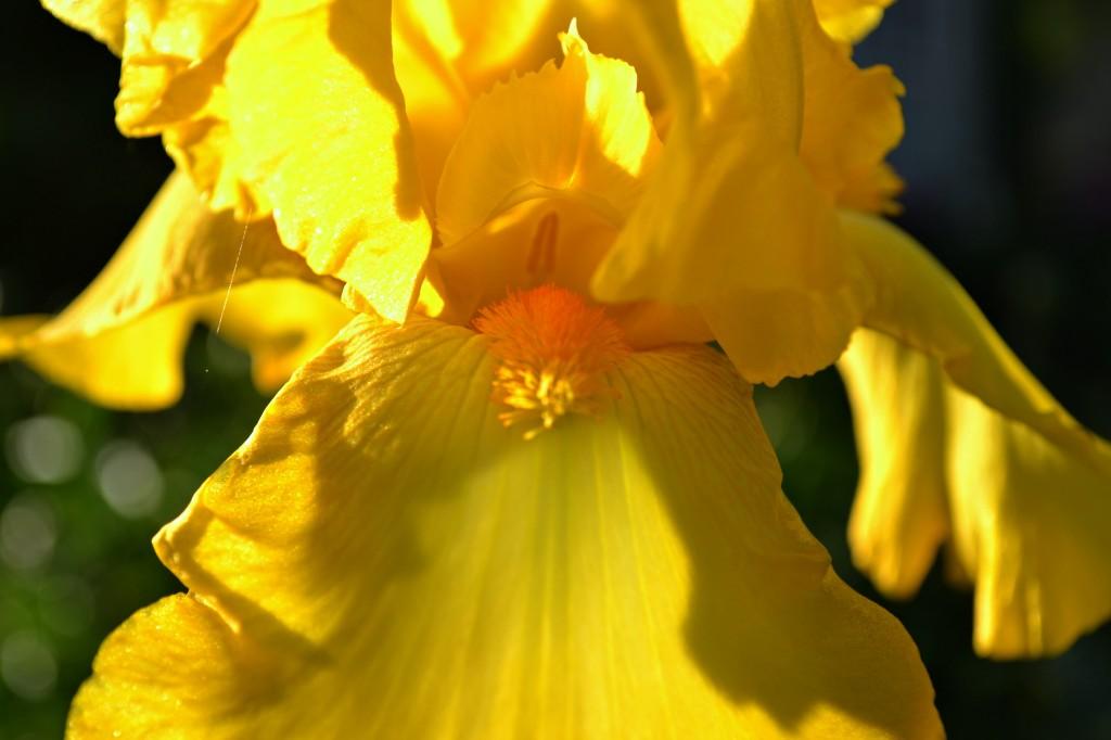 yellowiris2