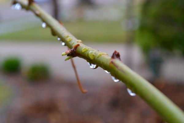 rosebush rain