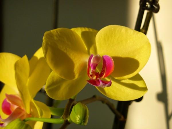 yelloworchid2