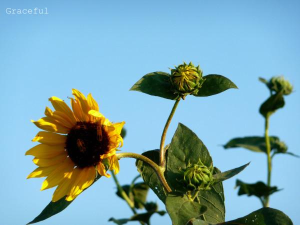 sunfloweragainstksy