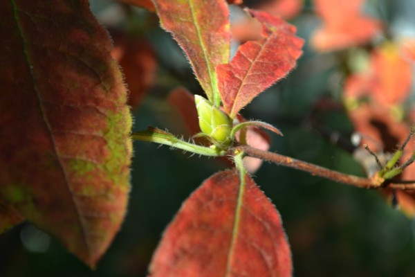 red leaves and bud