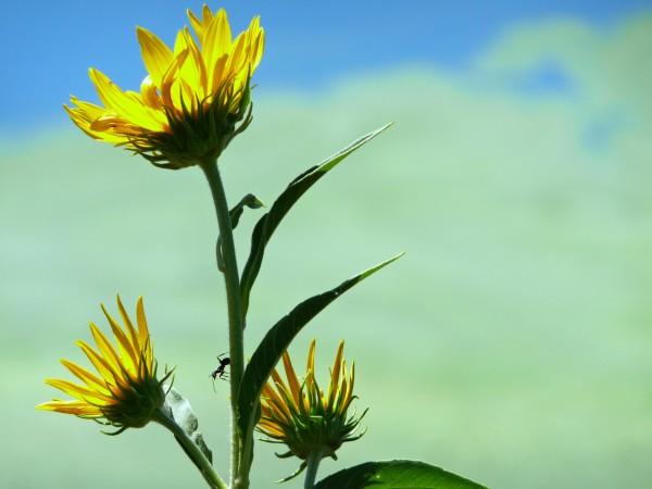 sunflowerandant