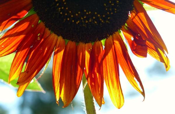 sunflowerupclose